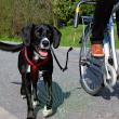 Велоспрингер для крупных собак Trixie 1287 - общий вид, применение
