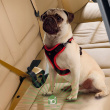 Ремень безопасности для собак до 45 кг Ferplast Dog Travel Belt (модель: 75640017) - применение